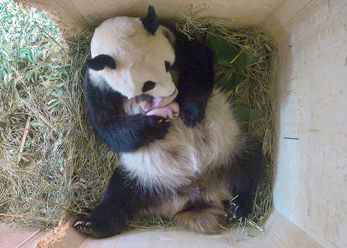 giant panda twins birth yang yang schonbrunn zoo 3