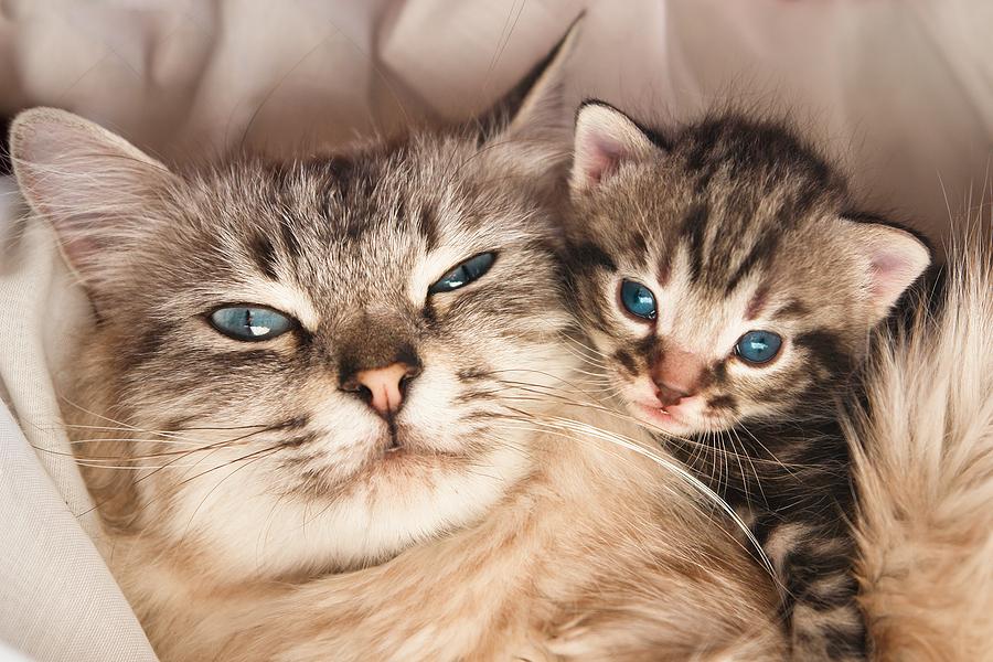 pregnant cat care healthy pregnant cat