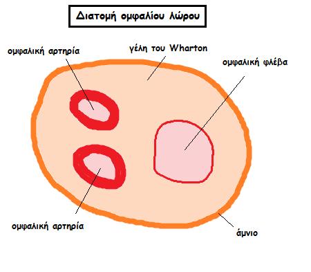 omfalios loros 1