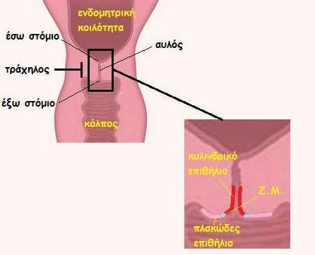 endomitriki koilotita