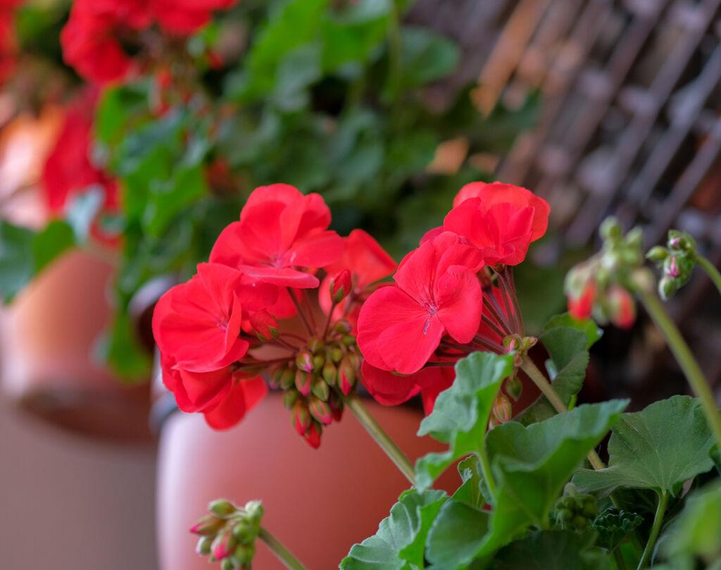 Αν έχουν μαραθεί όλα τα κλαδιά του φυτού σας, κόψτε τα περίπου το ένα τρίτο αυτών.