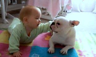 Βίντεο: Γαλλικό μπουλντόγκ μαθαίνει σε μωρό να μπουσουλάει!