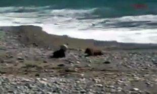 Σκύλος σώζει την τελευταία στιγμή μωρό από τα κύματα! (βίντεο)