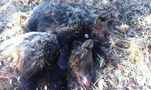 Το αρκουδάκι που ξεψύχησε στην αγκαλιά της νεκρής μητέρας του - Oργή για τους δολοφόνους κυνηγούς