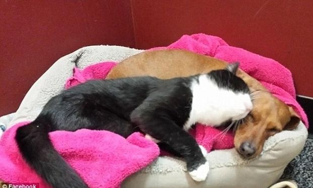 Μία ασυνήθιστη φιλία! Όταν ο σκύλος είναι ο φύλακας άγγελος της γάτας! (εικόνες)