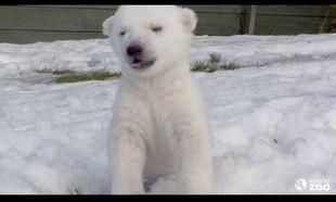 Η πρώτη βόλτα στο χιόνι! Πώς αντέδρασε η μικρή πολική αρκουδίτσα; (βίντεο)