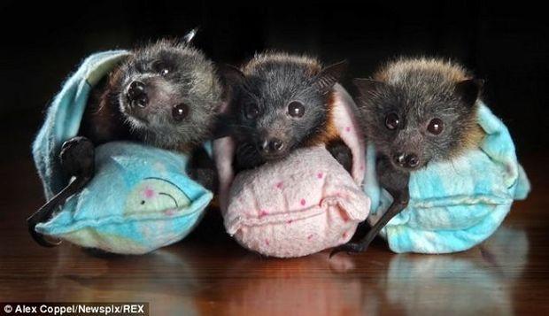 Υπέροχο! Ανθρωποι φροντίζουν σαν παιδιά τους αυτά τα ορφανά νυχτεριδάκια (εικόνες)