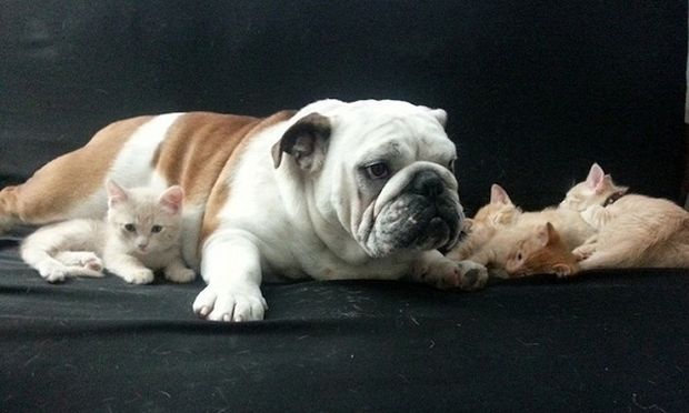 Το τρυφερό μπουλντόγκ «μεγαλώνει» τρία νεογέννητα γατάκια! (εικόνες)