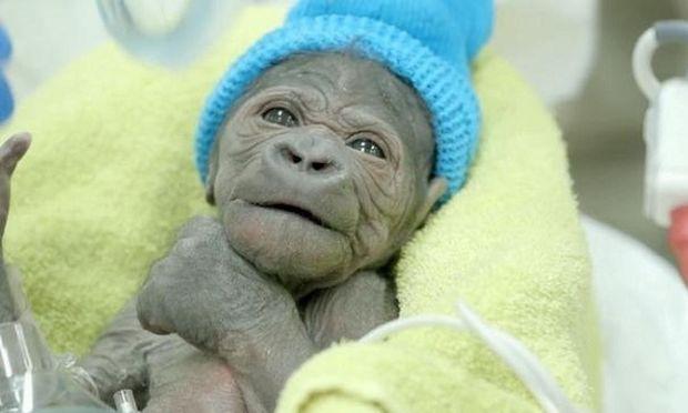 Αυτό το γοριλάκι γεννήθηκε με καισαρική! (βίντεο)
