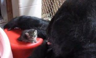 Γορίλας φροντίζει νεογέννητα γατάκια σαν να είναι η μαμά τους! (βίντεο)