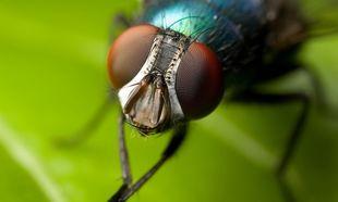 Μοναδικό! Οι μύγες πετούν σαν τα μαχητικά τζετ! (βίντεο)