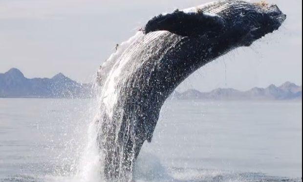 Φάλαινα ευχαριστεί τον άντρα που την έσωσε! (βίντεο)