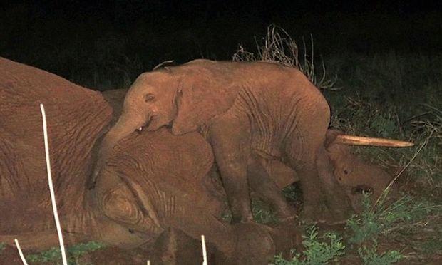 Μωρό ελεφαντάκι δεν εγκατέλειπε τη νεκρή μαμά του... (βίντεο)