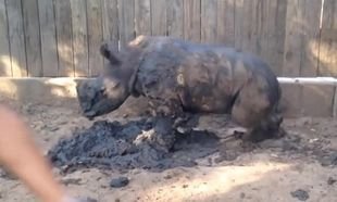 Μωρό ρινοκεράκι δεν μπορεί να κοιμηθεί μόνο του. Του λείπει η μαμά του! (βίντεο)
