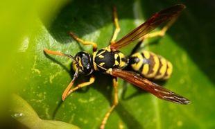 Τι να κάνετε αν σας τσιμπήσει σφήκα ή μέλισσα