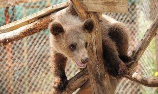 Μεγαλώνει το ορφανό αρκουδάκι του «Αρκτούρου» και προτιμάει το... λούτρινο αρκουδάκι της!