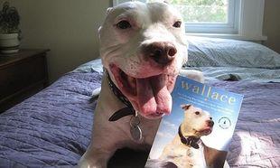O Γουάλας το πίτμπουλ, γιορτάζει τα 11α τα γενέθλιά του! (βίντεο)
