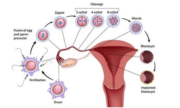 Εγκυμοσύνη ανά εβδομάδα: 1η και 2η εβδομάδα της κύησης, από το μαιευτήρα-γυναικολόγο Μενέλαο Λυγνό!