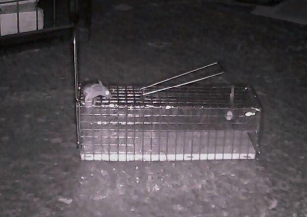 Mouse Impossible! Το super ποντίκι που ξεφεύγει από τις φάκες (βίντεο)