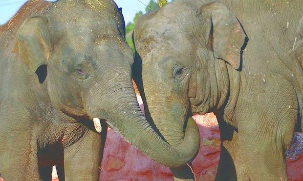 «Ασιατικοί Ελέφαντες: οι νέοι κάτοικοι του Αττικού Ζωολογικού Πάρκου»