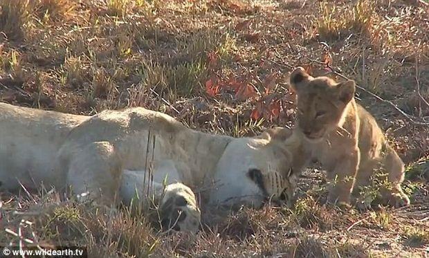 Υμνος στη μητρική αγάπη: Το λιονταράκι ξυπνάει τη μαμά του...