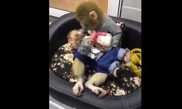 Ο, τι πιο τρυφερό έχουμε δει! Μαμά μαϊμουδίτσα ταΐζει με μπιμπερό το μωρό της (vid)