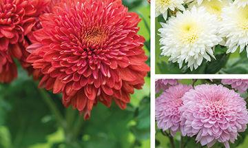 Λουλούδια που αντέχουν στο κρύο - Έξι επιλογές για το μπαλκόνι σας