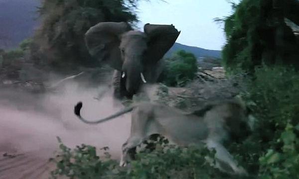 Μαμά ελεφαντίνα προστατεύει το μωρό της από λιοντάρι - Εκπληκτικό βίντεο