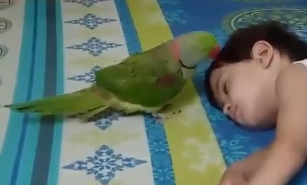 Πόσο αστείο: Παπαγάλος προσπαθεί απεγνωσμένα να ξυπνήσει το μωρό (vid)