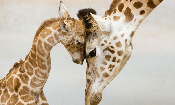 Φωτογραφίες που θα σας συγκινήσουν: Το μεγαλείο της μητρότητας και στο ζωικό βασίλειο