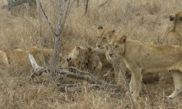 Άγριος καβγάς μεταξύ λιονταριών (vid)