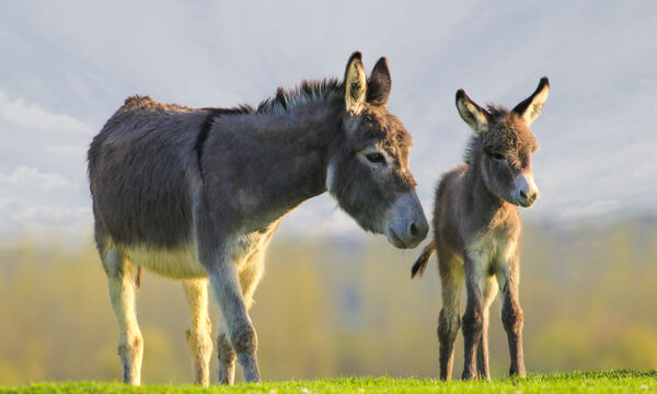 Η μητρική αγάπη είναι το ίδιο δυνατή και στα ζώα. Αυτό το video θα σας κάνει να «λιώσετε» (vid)