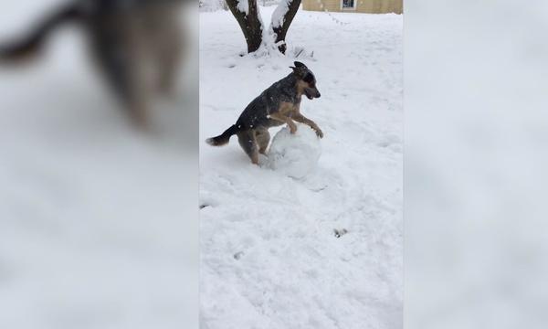 Αυτός ο σκύλος έφτιαξε την πιο εντυπωσιακή χιονόμπαλα που έχετε δει ποτέ! (vid)