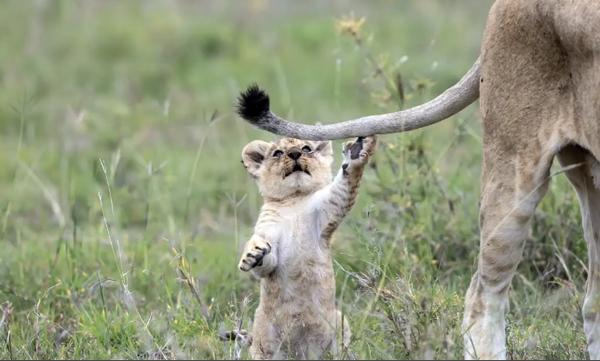 Λιονταράκι παίζει με την ουρά της μαμάς του. Δείτε την αντίδρασή της (vid)