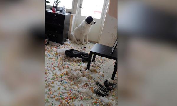 Αξιολάτρευτο σκυλάκι κάνει την πιο μεγάλη αταξία! (vid)