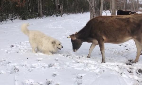 Τι σχέση έχει αυτός ο σκύλος με αυτή την αγελάδα; Δεν θα το πιστέψετε! (vid)