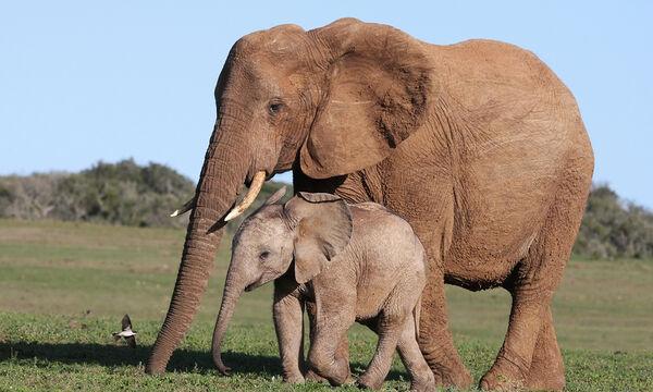 Δείτε από πού πίνουν νερό αυτοί οι ελέφαντες. Δεν θα το πιστεύετε! (vid)