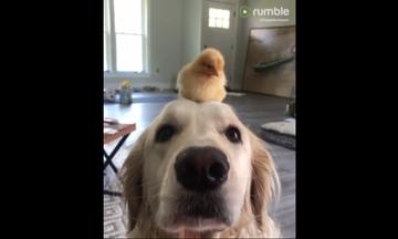 Μια παράξενη φιλία ζώων σκλάβωσε το διαδίκτυο: Σκύλος και κοτοπουλάκι είναι αχώριστοι (vid)