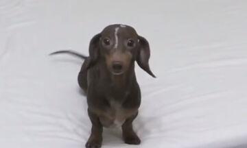 Αφήνουν το σκυλάκι να παίξει πάνω στο κρεβάτι και δείτε τι κάνει από τη χαρά του (vid)