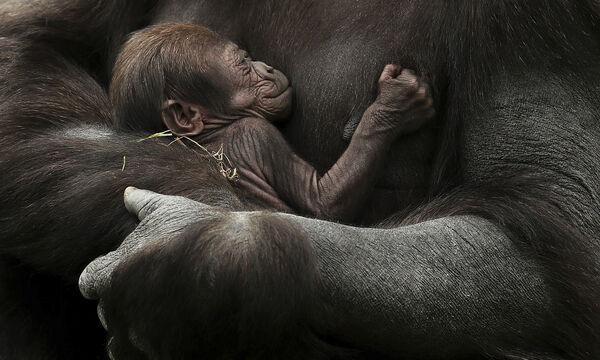 Οι τρυφερές φωτογραφίες του θηλυκού γορίλα με το μωρό της κάνουν το γύρο του διαδικτύου (pics)