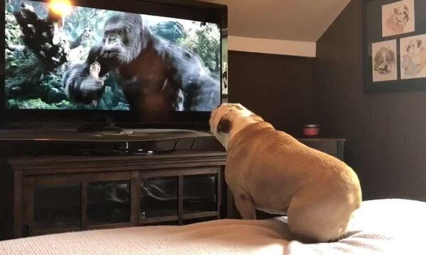 Μπουλντόγκ παρακολουθεί την ταινία «King Kong» - Δείτε την απίστευτη αντίδρασή του (vid)