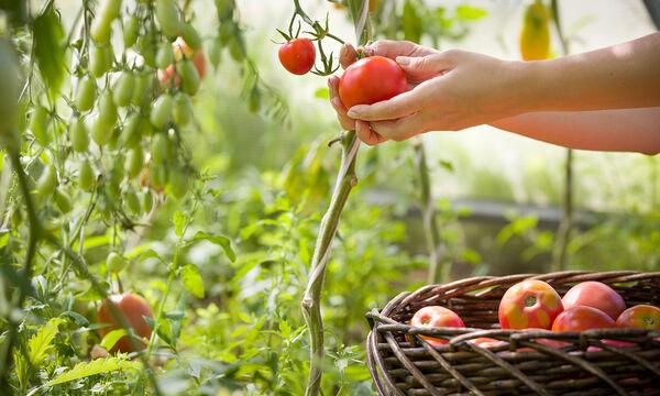 Πώς να καλλιεργήσετε ντομάτες στο… μπαλκόνι! (vid)