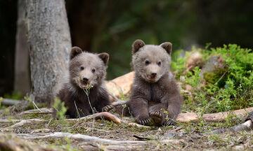 Αδελφάκια αρκουδάκια παίζουν αμέριμνα – Δείτε πόσο χαριτωμένα είναι (vid)