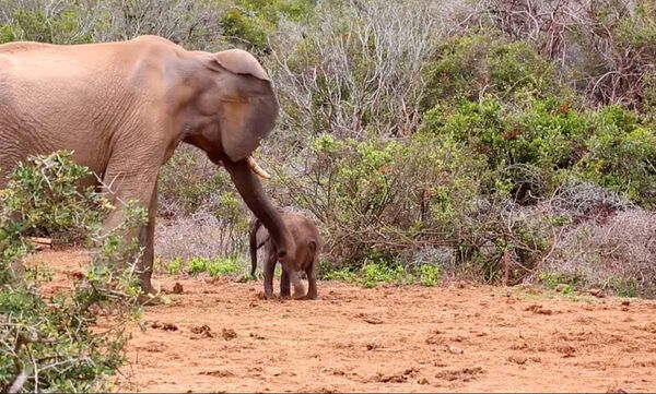 Ελέφαντας τα έβαλε με ένα μικρό, αλλά υπολόγιζε χωρίς τη… μαμά του (vid)