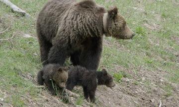 Σπάνιες στιγμές παιχνιδιού ανάμεσα σε δυο μωρά αρκουδάκια (vid)