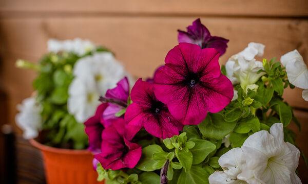 Αυτό είναι το tip για να ξαναζωντανέψετε τις γλάστρες & τα φυτά σας στο μπαλκόνι