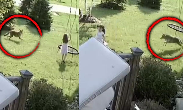 Απίστευτο βίντεο: Κογιότ επιτίθεται σε 5χρονο κοριτσάκι την ώρα που παίζει (vid)