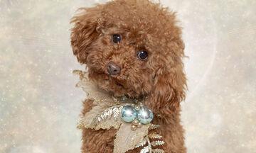 Σκυλάκια βάζουν τα γιορτινά τους και απαθανατίζονται από τον φωτογραφικό φακό (pics)
