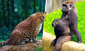 Η μητρότητα στο ζωικό βασίλειο - Απίθανο βίντεο με ζώα που εγκυμονούν (vid)