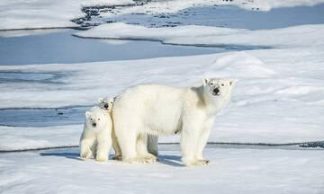 Μια πολική αρκούδα θηλάζει τα μωρά της για πάνω από 7 μήνες χωρίς να φάει